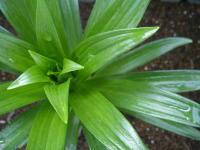 lily-1.jpg
