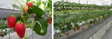 strawberry-1-2.jpg